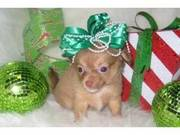 Tiny Chihuahua Babies