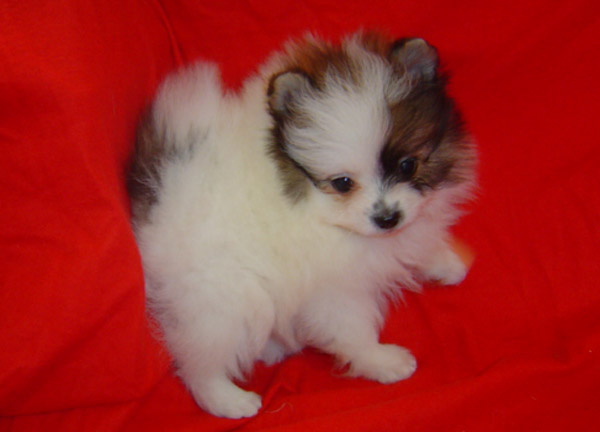 ... Teacup Pomeranian puppies for sale - Dogs for sale, puppies for sale