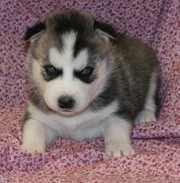 Well Trained Siberian Husky Puppies For Good Homes
