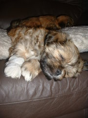 PEDIGREE LHASA APSO PUPPIES FOR SALE